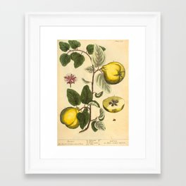 """Qiunce by Elizabeth Blackwell from """"A Curious Herbal,"""" 1737 (benefiting The Nature Conservancy) Framed Art Print"""