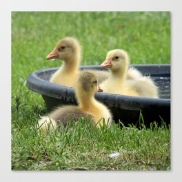 Three little goslings wildlife in the morning while drinking in the meadow in sepia Canvas Print