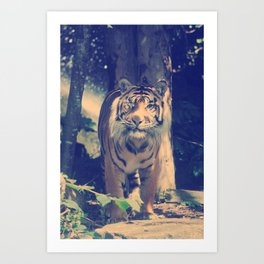 The One Eyed Sumatran Tiger. Art Print
