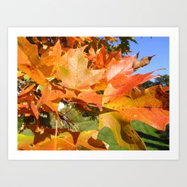 Maple in Sunlight Art Print