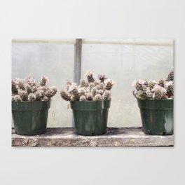 Three Little Cacti Canvas Print