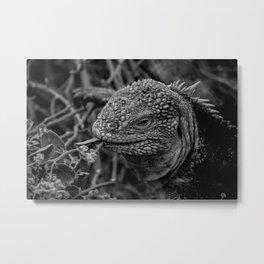 Galapagos Land Iguana Eats Metal Print