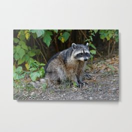 Diurnal Raccoon Poses on the Gravel Metal Print