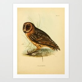 The Zoology of the Voyage of HMS Beagle 1840 - Birds 4: Strix punctatissima / Galapagos Barn Owl Art Print