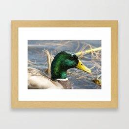Mallard Duck  Framed Art Print