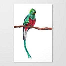 Pharomachrus mocinno Canvas Print