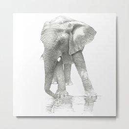 African Elephant, Loxodonta Africana Metal Print