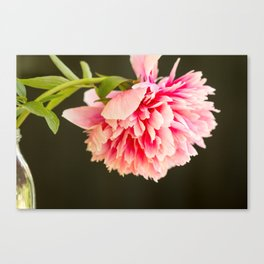 Beautiful colorful peony in vase close side view Canvas Print