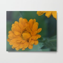 Orange Zinnia after the rain Metal Print