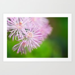 Lavender Mist Meadow Rue - Thalictrum rochebrunianum 2 Art Print