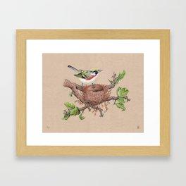 Chestnut Sided Warbler in Nest Framed Art Print