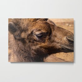 Approach of a camel baby. Dromedary of the desert. Metal Print