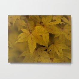 Autumn Acer Leaves Metal Print