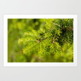 Green coniferous fresh shoots detail Art Print