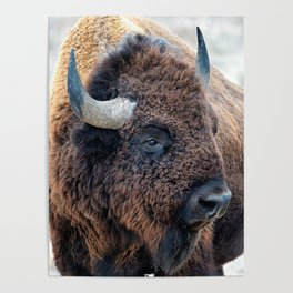 In The Presence Of Bison Poster