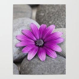 Zen Pink Daisy Pebble Still Life Poster