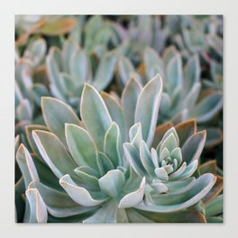 Graptoveria Study #1 Canvas Print