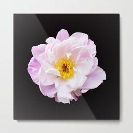 Beautiful Peony Flower Black Background #decor #society6 #buyart Metal Print