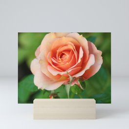 Garden pink rose flower blooming and two rose buds Mini Art Print