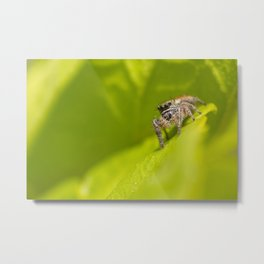 A Jumping Spider (Salticidae) hunts in the foliage of the garden Metal Print