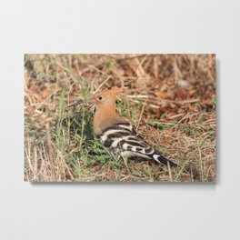 Eurasian hoopoe posed in the grass of a meadow Metal Print