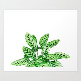 Calathea marantaceae Art Print