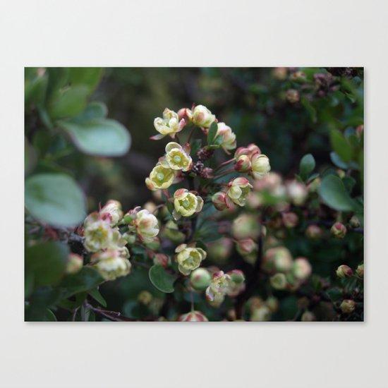 TINY FLOWERS OF A BERBERIS Canvas Print