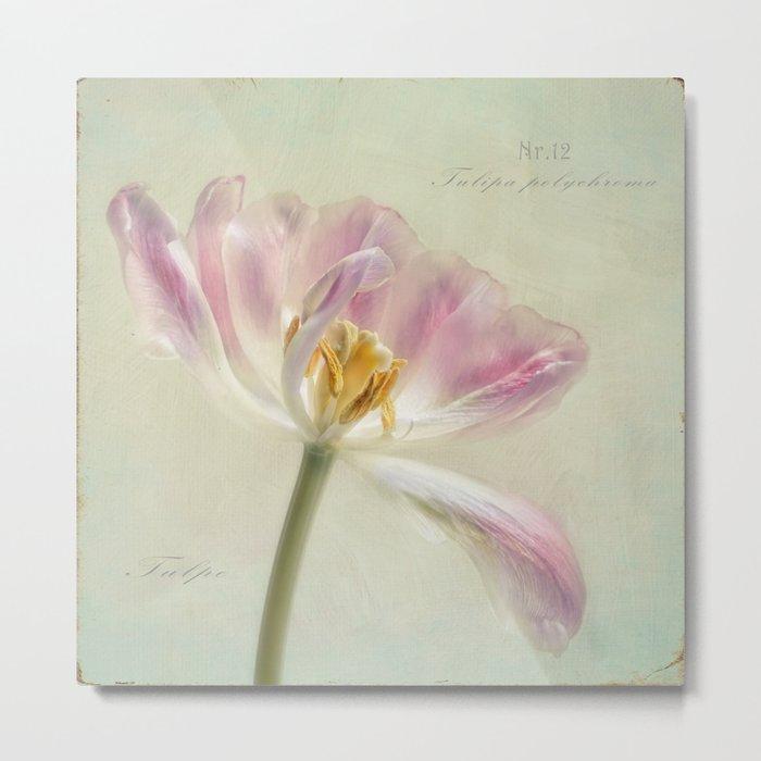Tulipa polychroma Metal Print