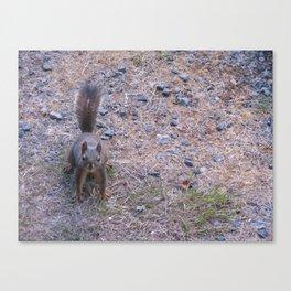 Douglas Squirrel  Canvas Print