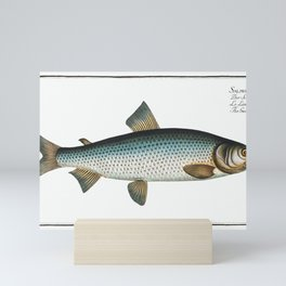 Gwiniad (Salmo Lavaretus) from Ichtylogie, ou Histoire naturelle génerale et particuliére des poisso Mini Art Print