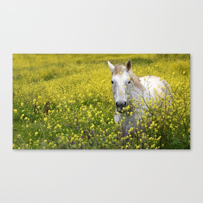 White Horse in a Yellow Pasture Canvas Print