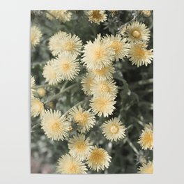 Desaturated Dandelions Poster