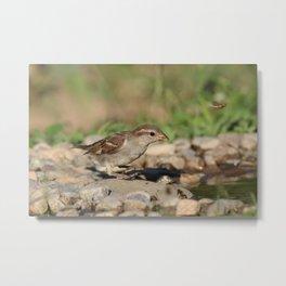 Young sparrow at watter Metal Print