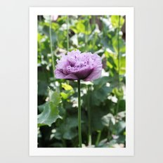 Purple Poppy Art Print
