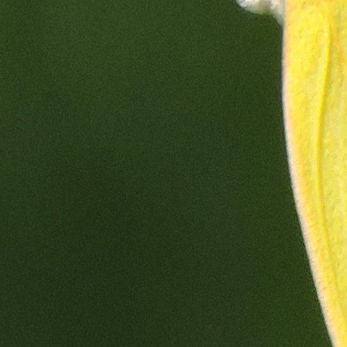 Orange Sulphur Butterfly Leggings