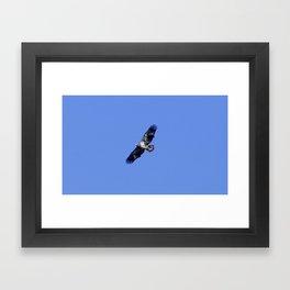 Juvenile Bald Eagle Framed Art Print