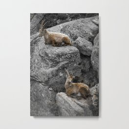 The rest of the steinbocks Metal Print