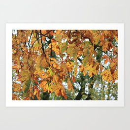 Horse Chestnut Conker Tree Fall Art Print