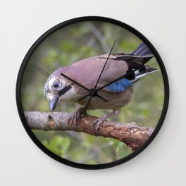 Wild colourful Jay bird Wall Clock