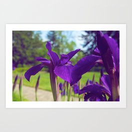Irises in the sun Art Print
