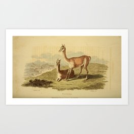 Vintage Print - Arcana or The Museum of Natural History (1811) - Vicuna Art Print