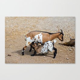 Goat feeds her goatlings, outdoor shooting in good weather Canvas Print