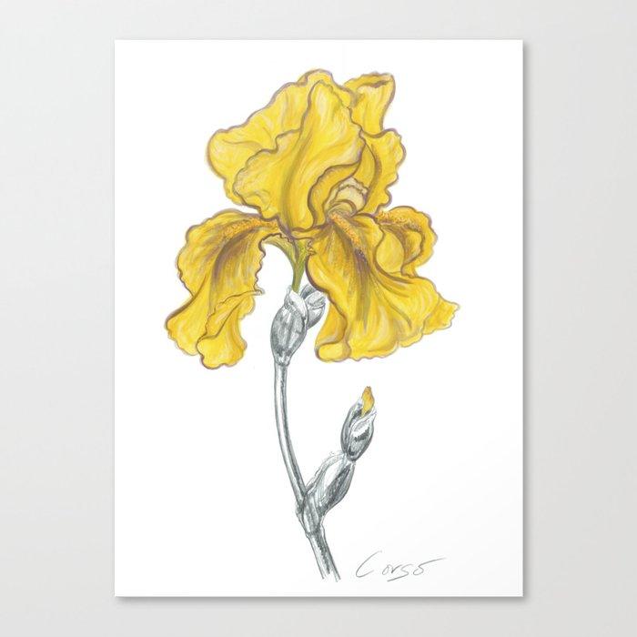 iris 02 Botanical Flower * Yellow Bearded Iris Canvas Print