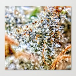 Top Shelf Diamond OG Strain Buds Calyxes Amber Trichomes Close Up View Canvas Print