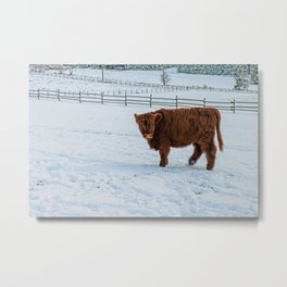 Are you looking at me, Scotish Highland Cow Metal Print