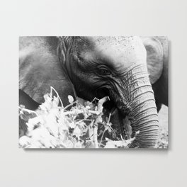 Young elephant feeding in black and white Metal Print