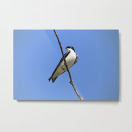 Handsome Male Tree Swallow on a Branch Metal Print