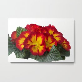 isolated primroses in spring season Metal Print