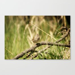 Pine Siskin on a Branch Canvas Print