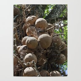 Cannonball Tree Fruit Poster